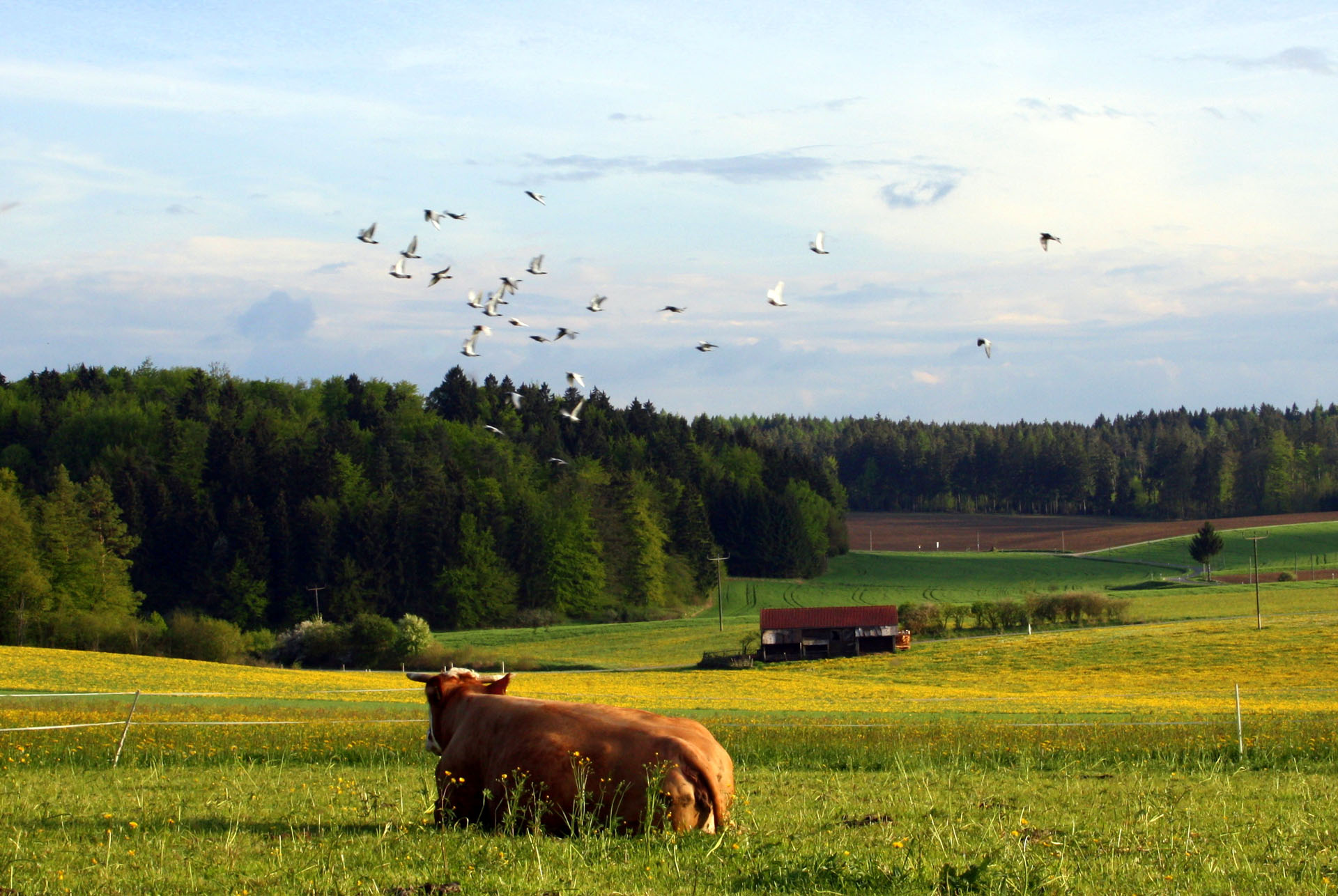 Kuh auf der Lauteracherer Höhe (Maria Rammelmeier)